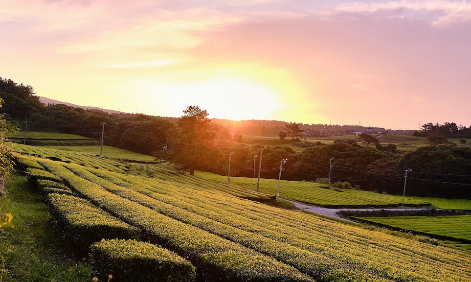 Dolsongyi Tea Farm in Jeju Island